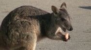 Stock Video Footage of Wallaby feeding on carrot