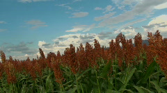 Beautiful Orange Grain Sorghum Plants Scenic Blue Sky Backround - stock footage