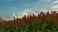 Stock Video Footage of Beautiful Orange Grain Sorghum Plants Scenic Blue Sky Backround