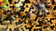 Queen Bee - stock footage