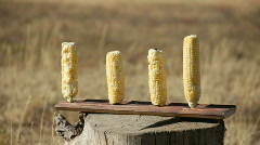 Corn Shot By 30-60 10% Stock Footage