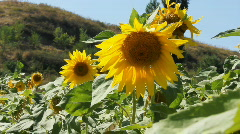 Sunflowers 13 Stock Footage
