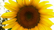 Stock Video Footage of sunflower