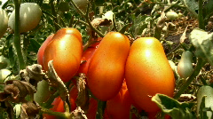 Red tomato Stock Footage