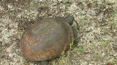 Gopher Tortoise  -  Gopherus Polyphemus - Overhead Full Body Shot Stock Footage