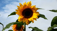 Stock Video Footage of Beautiful sunflowers in the wind
