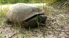 Gopher Tortoise  -  Gopherus Polyphemus - Close Up Ground Level Stock Footage