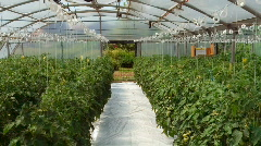 Tomato in the Green House Stock Footage