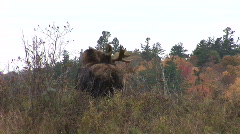 Bull Moose Adirondack Mountains 01 Stock Footage