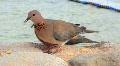 Egyptian pigeons Footage