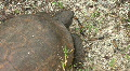 Gopher Tortoise  -  Gopherus Polyphemus - Overhead Close Up Footage