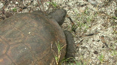 Gopher Tortoise  -  Gopherus Polyphemus - Overhead Close Up Stock Footage
