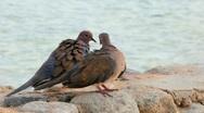 Egyptian pigeons Stock Footage
