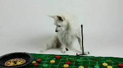 Dog Plays Roulette   Stock Footage