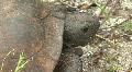 Gopher Tortoise  -  Gopherus Polyphemus - Face Close Up HD Footage