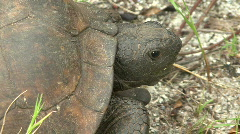 Gopher Tortoise  -  Gopherus Polyphemus - Face Close Up Stock Footage