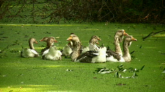 geese - stock footage
