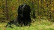 Labrador retriever lounging autumn Stock Footage