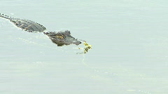 Young American Alligator Eats A Dragon Fly Stock Footage