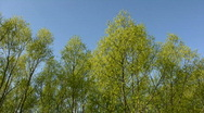 Trees against the blue sky Stock Footage