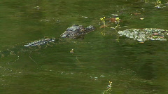 Young American Alligator, Alligator Mississippiensis Stock Footage