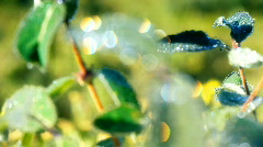Morning dew 2 Stock Footage