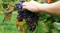 Grape Picking - stock footage