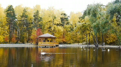 Stock video footage yellow autumn foliage POND SWANS Stock Footage