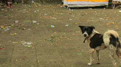 Bali Dog 1 Stock Footage