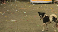 Stock Video Footage of Bali Dog 1