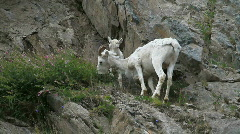 Dall Sheep EWE and lamb P HD 1555 Stock Footage