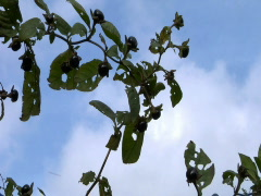 Deadly nightshade branch and berries Stock Footage