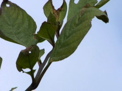 Deadly Nightshade leaves Stock Footage