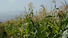 Cornfield 6 Stock Footage