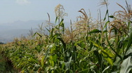 Stock Video Footage of Cornfield 6