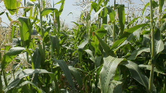 Stock Video Footage of Cornfield 10