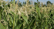 Cornfield 9 Stock Footage