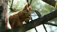 Squirrel 2 Stock Footage