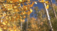 Fall Foliage Autumn in Aspen, Colorado Stock Footage