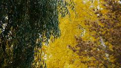 Stock video footage yellow autumn foliage  Stock Footage