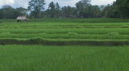 Stock Video Footage of Rice Paddy Field with shadows of sun and clouds, Indonesia.