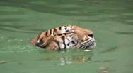 BIG TIGER PROWLS SWIMMING Close-up Danger Endangered Species Bengal Stock Footage