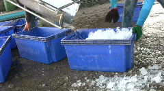 Fishing Industry Fish are Iced Packed Commercial Industry Marine Stock Footage
