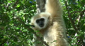 Wild White Gibbon Monkey Primate Hanging in Jungle Forest Tree Monkey Ape Footage