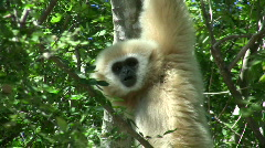 Wild White Gibbon Monkey Primate Hanging in Jungle Forest Tree Monkey Ape Stock Footage