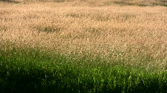 Grass waving in summer field golden stalks natural beautiful sea of wheat stalks Stock Footage
