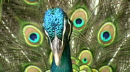 Stock Video Footage of PEACOCK GLORIOUS Feathers on Display Close-up