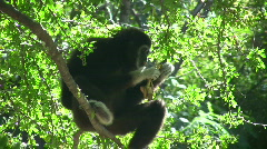 Wild Black  Gibbon Monkey Primate Sitting in Jungle Forest Tree Monkey Ape Stock Footage