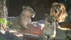 Pride of Lions at Rest Africa Endangered Predator Dangerous Cats Stock Footage
