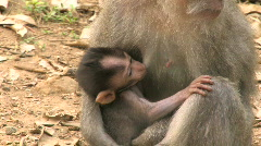 Nursing Baby Monkey Sucks Breast Mother Feeding Milk Monkeys Mother Stock Footage